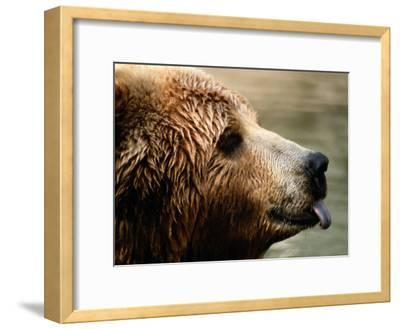 A Portrait of a Captive Kodiak Brown Bear with His Tongue Sticking Out-Tim Laman-Framed Photographic Print