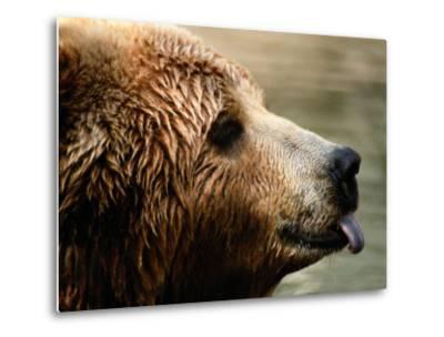 A Portrait of a Captive Kodiak Brown Bear with His Tongue Sticking Out-Tim Laman-Metal Print