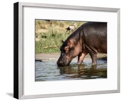 A Hippopotamus Takes a Drink from a Cool River-Tim Laman-Framed Photographic Print