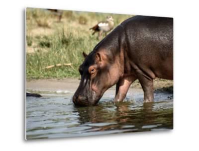 A Hippopotamus Takes a Drink from a Cool River-Tim Laman-Metal Print
