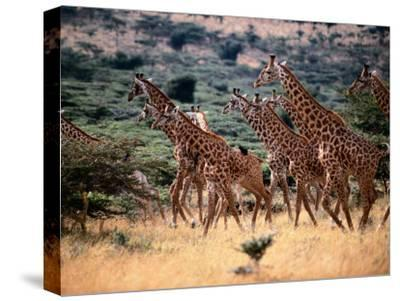 A Herd of Masai Giraffes on the African Plains-Tim Laman-Stretched Canvas Print