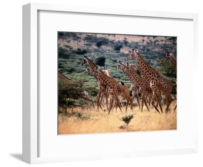 A Herd of Masai Giraffes on the African Plains-Tim Laman-Framed Photographic Print