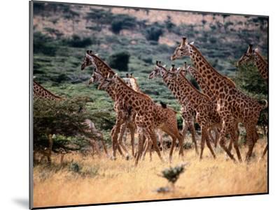 A Herd of Masai Giraffes on the African Plains-Tim Laman-Mounted Photographic Print
