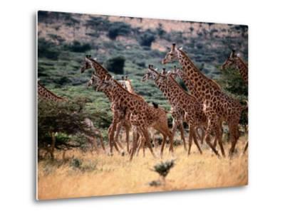 A Herd of Masai Giraffes on the African Plains-Tim Laman-Metal Print