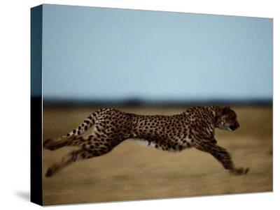 An African Cheetah Sprinting Across the an African Plain-Chris Johns-Stretched Canvas Print
