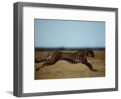 An African Cheetah Sprinting Across the an African Plain-Chris Johns-Framed Photographic Print