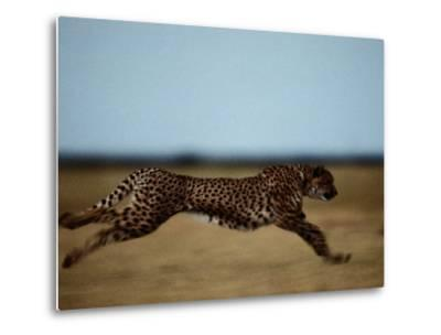 An African Cheetah Sprinting Across the an African Plain-Chris Johns-Metal Print