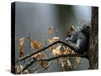 An Eastern Gray Squirrel Has a Meal in the Crotch of a Tree-Chris Johns-Stretched Canvas Print