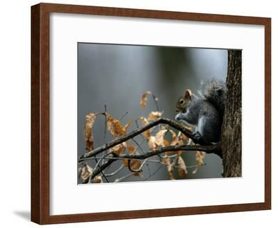 An Eastern Gray Squirrel Has a Meal in the Crotch of a Tree-Chris Johns-Framed Photographic Print