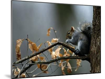 An Eastern Gray Squirrel Has a Meal in the Crotch of a Tree-Chris Johns-Mounted Photographic Print