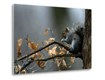 An Eastern Gray Squirrel Has a Meal in the Crotch of a Tree-Chris Johns-Metal Print