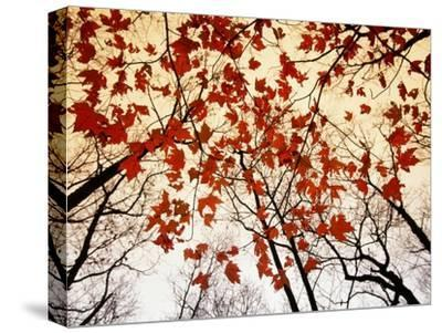 Bare Branches and Red Maple Leaves Growing Alongside the Highway-Raymond Gehman-Stretched Canvas Print