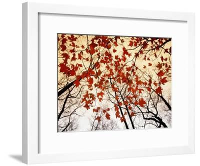 Bare Branches and Red Maple Leaves Growing Alongside the Highway-Raymond Gehman-Framed Premium Photographic Print