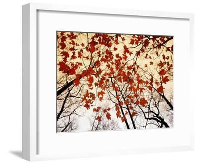 Bare Branches and Red Maple Leaves Growing Alongside the Highway-Raymond Gehman-Framed Photographic Print