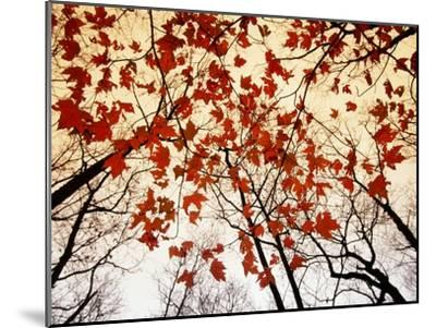 Bare Branches and Red Maple Leaves Growing Alongside the Highway-Raymond Gehman-Mounted Photographic Print