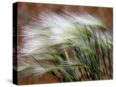 Prairie Grass-Raymond Gehman-Stretched Canvas Print