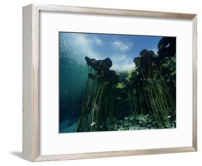 A Forest of Long-Stemmed Water Lilies-George Grall-Framed Photographic Print