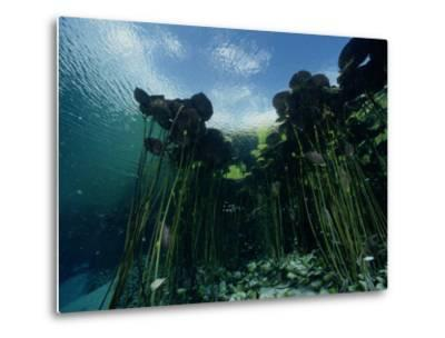 A Forest of Long-Stemmed Water Lilies-George Grall-Metal Print