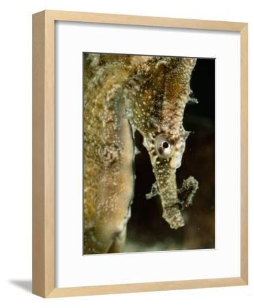 Male Sea Horse with Young Sitting on its Snout after Birth-George Grall-Framed Photographic Print