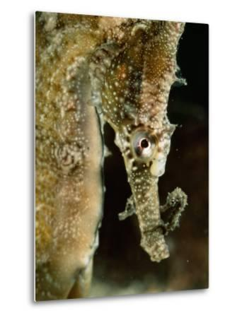 Male Sea Horse with Young Sitting on its Snout after Birth-George Grall-Metal Print