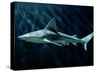 A Sand Bar Shark-George Grall-Stretched Canvas Print