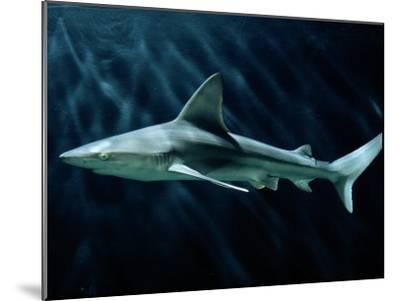 A Sand Bar Shark-George Grall-Mounted Photographic Print