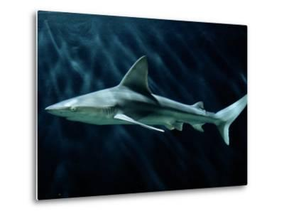 A Sand Bar Shark-George Grall-Metal Print