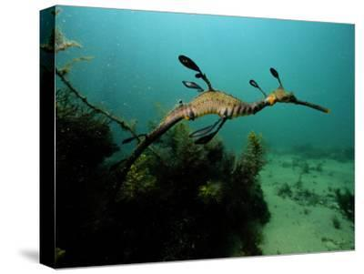A Weedy Sea Dragon-George Grall-Stretched Canvas Print