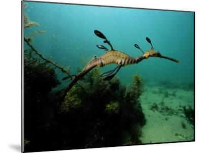 A Weedy Sea Dragon-George Grall-Mounted Photographic Print