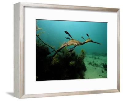A Weedy Sea Dragon-George Grall-Framed Photographic Print
