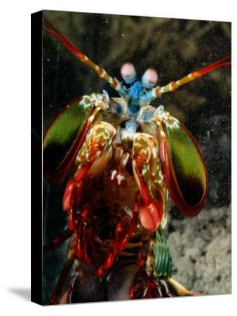 A Mantis Shrimp-George Grall-Stretched Canvas Print