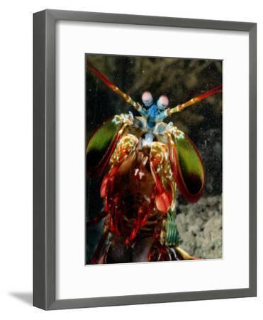 A Mantis Shrimp-George Grall-Framed Photographic Print
