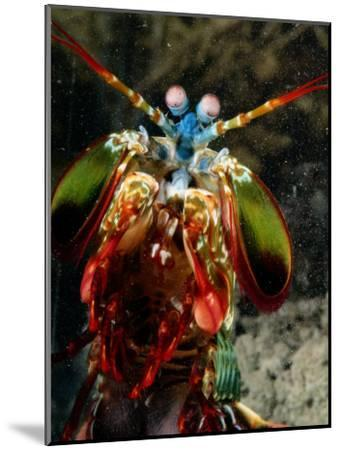 A Mantis Shrimp-George Grall-Mounted Photographic Print