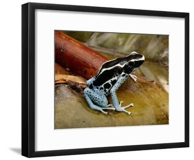 Poison-Dart Frog-George Grall-Framed Photographic Print