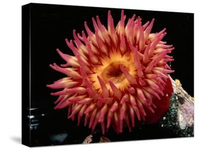 Sea Anemone-George Grall-Stretched Canvas Print