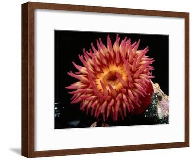 Sea Anemone-George Grall-Framed Photographic Print