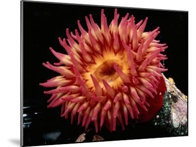 Sea Anemone-George Grall-Mounted Photographic Print