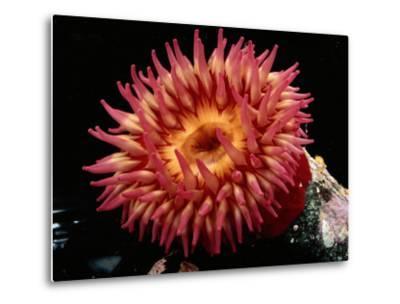 Sea Anemone-George Grall-Metal Print