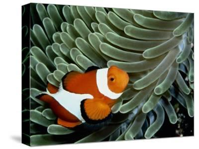 A False Clown Anemonefish Swims Through Sea Anemone Tentacles-Wolcott Henry-Stretched Canvas Print