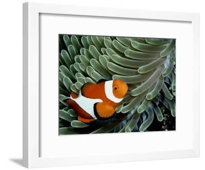 A False Clown Anemonefish Swims Through Sea Anemone Tentacles-Wolcott Henry-Framed Photographic Print