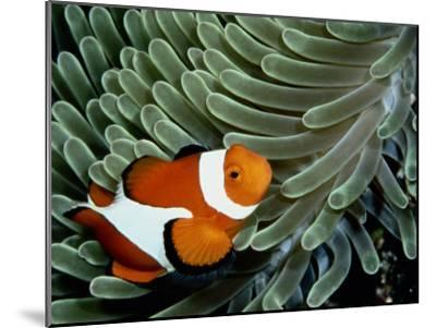 A False Clown Anemonefish Swims Through Sea Anemone Tentacles-Wolcott Henry-Mounted Photographic Print