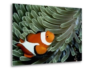 A False Clown Anemonefish Swims Through Sea Anemone Tentacles-Wolcott Henry-Metal Print
