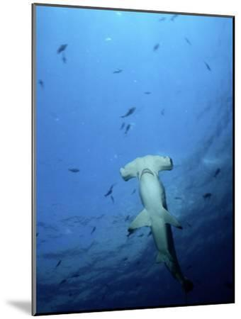 A Scalloped Hammerhead Shark Photographed from Beneath-Wolcott Henry-Mounted Photographic Print