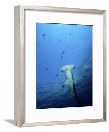 A Scalloped Hammerhead Shark Photographed from Beneath-Wolcott Henry-Framed Photographic Print