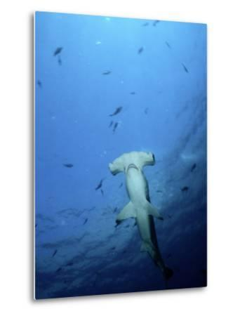 A Scalloped Hammerhead Shark Photographed from Beneath-Wolcott Henry-Metal Print