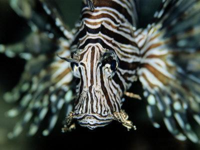 Close View of the Face of a Zebra Lionfish-Wolcott Henry-Framed Photographic Print