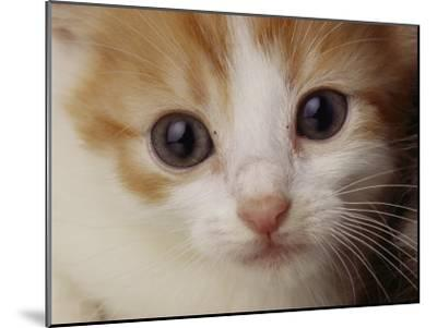 A Close View of a Cat-Michael Nichols-Mounted Photographic Print