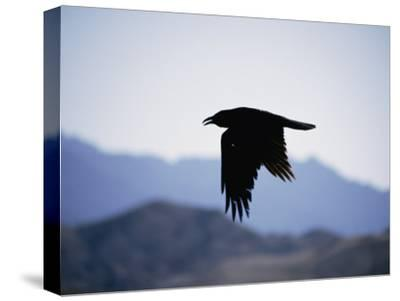 A Common Raven is Silhouetted against the Sky-Marc Moritsch-Stretched Canvas Print