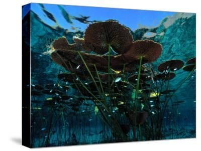 Long-Stemmed Water Lilies Reach for the Hot Mexican Sun-George Grall-Stretched Canvas Print