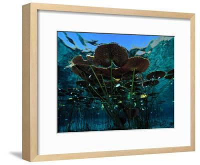 Long-Stemmed Water Lilies Reach for the Hot Mexican Sun-George Grall-Framed Photographic Print